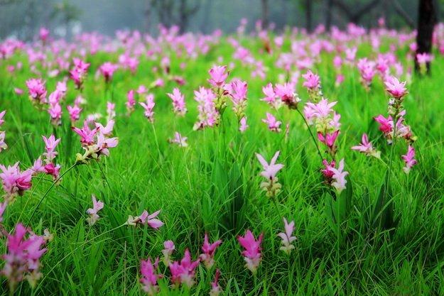 ทัวร์ชัยภูมิ ทุ่งดอกกระเจียว ไทรทอง ป่าหินงาม ฟาร์มโชคชัย ไร่องุ่นสุพัตรา 2วัน 1คืน