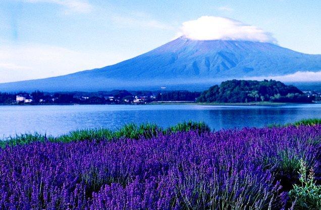 ทัวร์ญี่ปุ่น ชมทุ่งดอกลาเวนเดอร์ ทะเลสาบคาวากูชิโกะ ช้อปปิ้งชินจูกุ โตเกียว 5วัน3คืน บิน Air Asia X